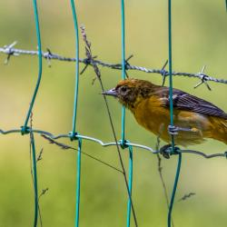 Female Baltimore Oriole on fence