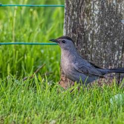 Catbird near fallen egg