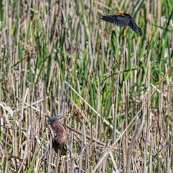 Red Winged Blackbird attacking Green Heron