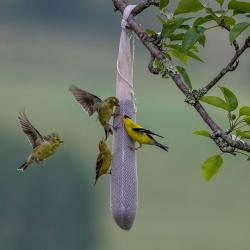 Goldfinches on thistle sock