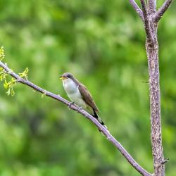 Yellow-billed cuckoo bird