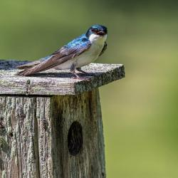 Tree Swallow on Bluebird Box