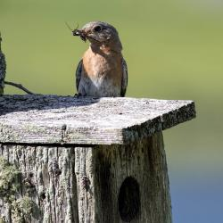 Female Bluebird with bug in mouth