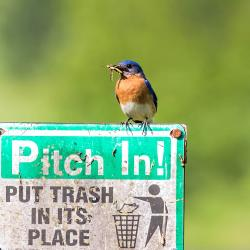 Male Bluebird with Grasshopper in mouth