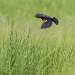 Red-Winged Blackbird in grass