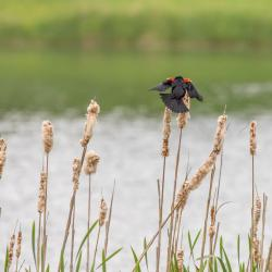 Red-Winged Blackbird in Cattails