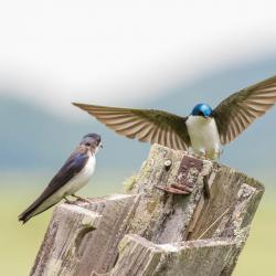 Tree Swallows in nesting box with no roof