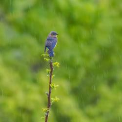 Male Bluebird in Rain on Sumac