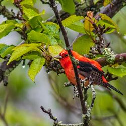 Scarlet Tanager in Pear Tree