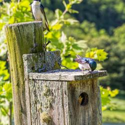 Tree Swallows bulling Birdbird box