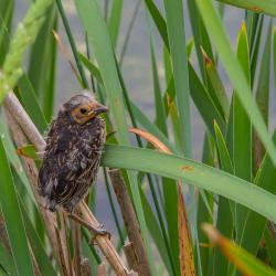 Baby Red-Winged Blackbird in Cattails