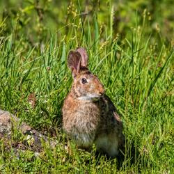 Wild Rabbit in Monterey VA