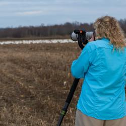 Photographing Tundra Swans Pungo Lake Field
