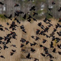 Flock of Black Birds Lake Mattamuskeet