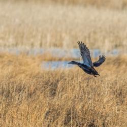 Flying Mallard Duck Lake Mattamuskeet