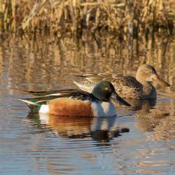 Shoveler Duck Lake Mattamuskeet