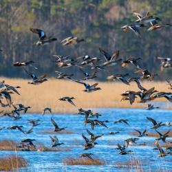 Flock of Ducks Lake Mattamuskeet