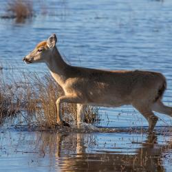 Deer at Lake Mattamuskeet