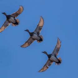 Female Pintails flying Lake Mattamuskeet