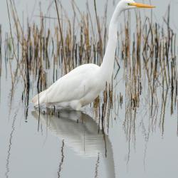 Great White Egret Lake Mattamuskeet
