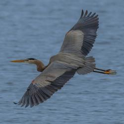 Great Blue Heron Lake Mattamuskeet