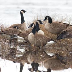 Canadian Goose Lake Mattamuskeet