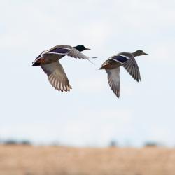 Mallard Ducks Lake Mattamuskeet