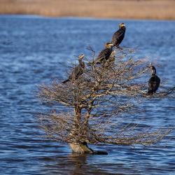 Double-crested Cormorants in tree Lake Mattamuskeet