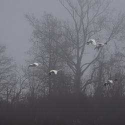 Tundra Swan Migration Pungo Lake