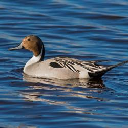 Pintail Duck Pungo Lake