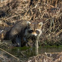 Racoon at Pungo Lake Canal
