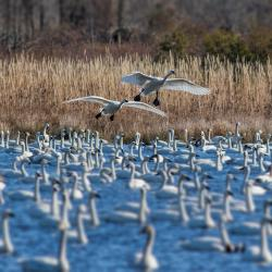 Tundra Swans at Pungo Lake