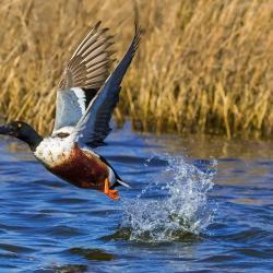 Shoveler Duck Flying