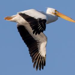 White Pelican Flying Pea Island