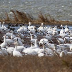 Snow Geese Pea Island