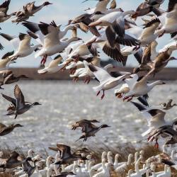 Ducks & Snow Geese Pea Island