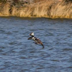 Hooded Merganser Flying Pea Island