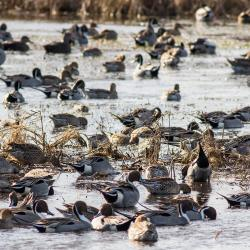 Pintail Ducks Pea Island