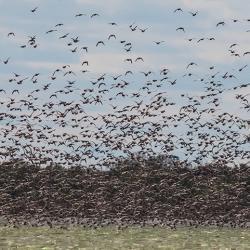 Swarm of Pintail Ducks Pea Island