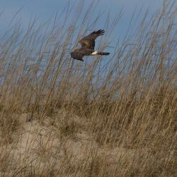 Male Norther Harrier Hawk Pea Island