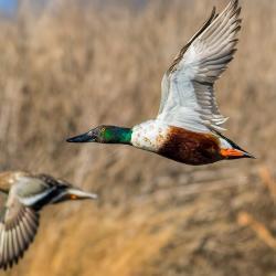 Flying Shoveler Ducks