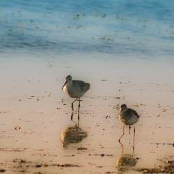Stilt Sandpiper Pea Island