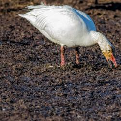 Snow Goose Eating grass roots