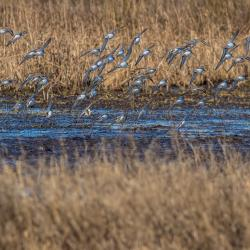Flock of Sandpiper