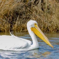 White Pelican Pea Island