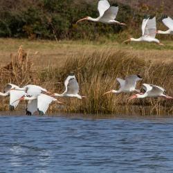 Flock of White Ibis Pea Island