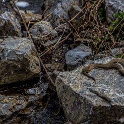 Water Snake sunning