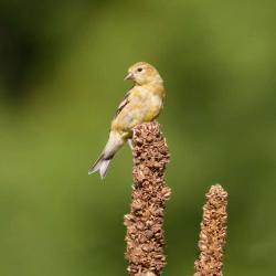 American Goldfinch--on common mullein stalk
