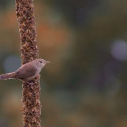 House Wren on mullein stalk