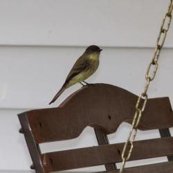 Eastern Phoebe--Flycatcher